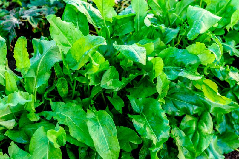 acedera es una verdura perenne
