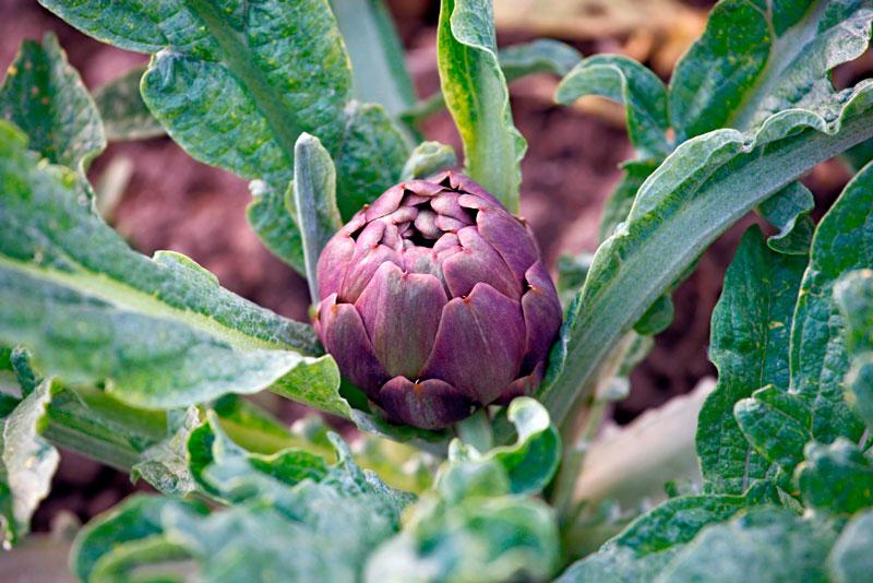 alcachofa es una planta perenne