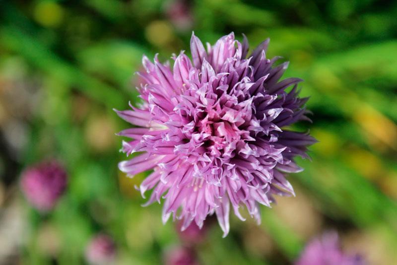 cebollino es una planta perenne