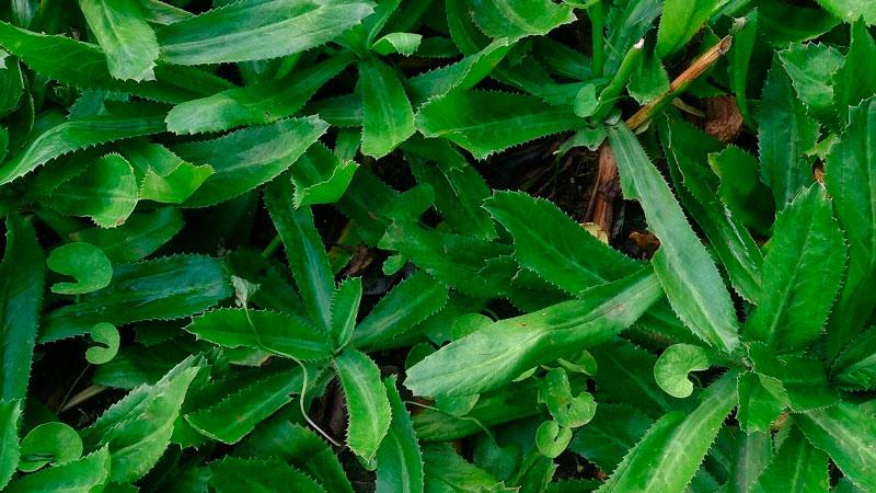 culantro es una planta perenne
