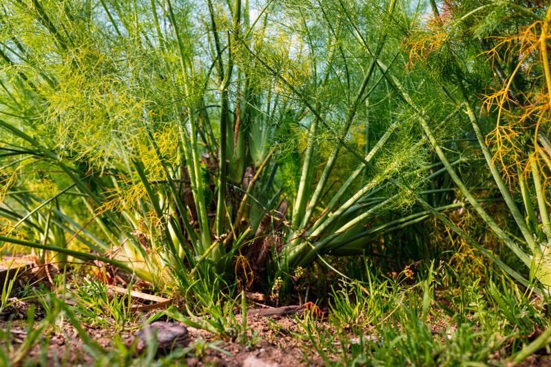 hinojo es una planta perenne
