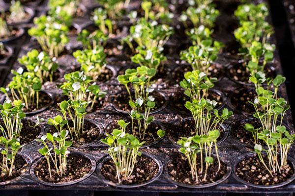 semillas de albahaca en semillero