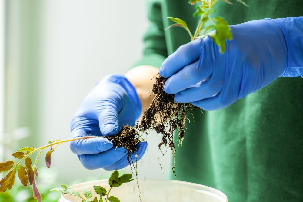 separando plantulas
