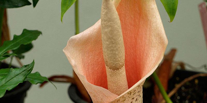 amorphophallus bulbifer bulbos voodoo lily