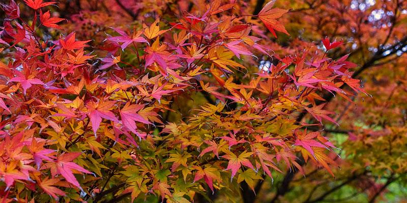 arce japones como sembrar semillas