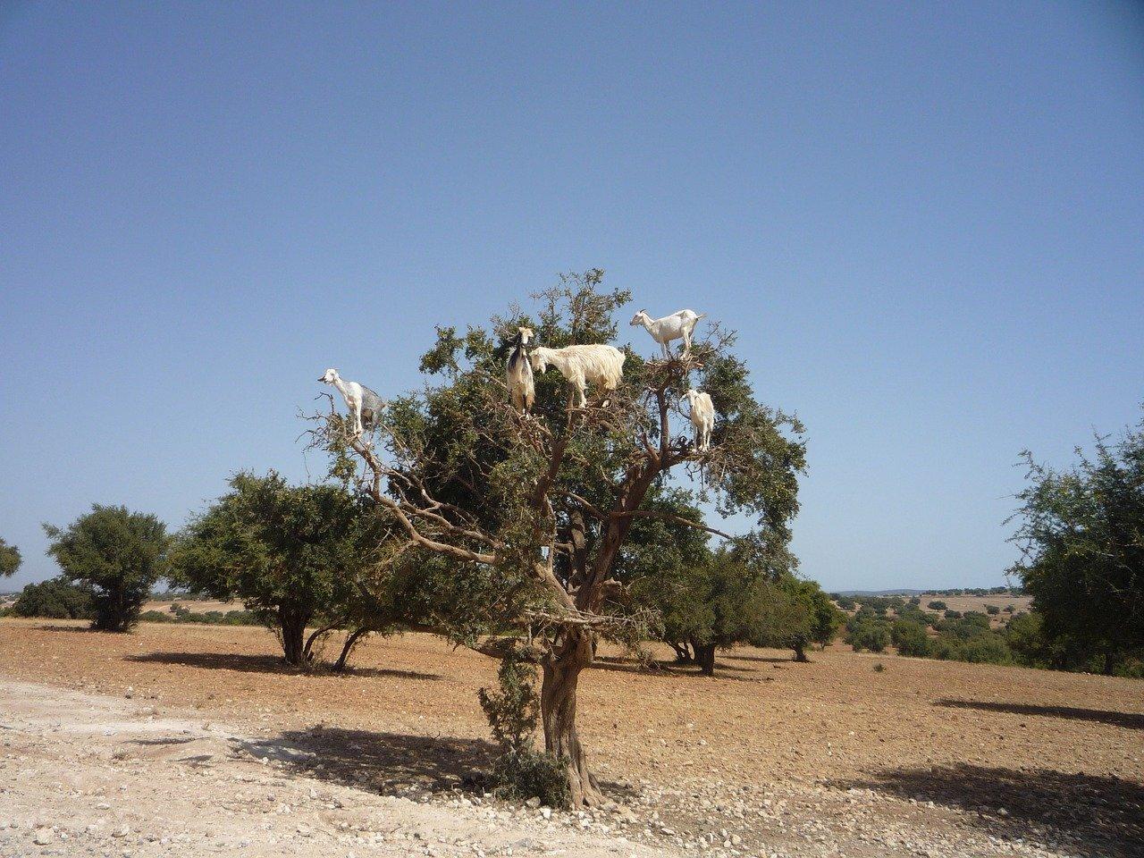 árbol argán con cabras