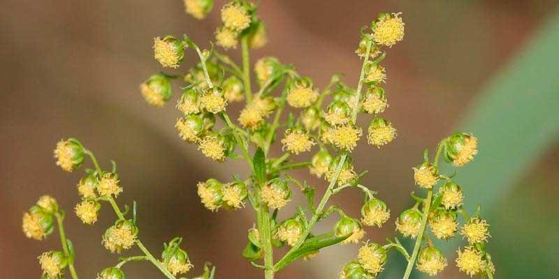 flores de artemisia annua
