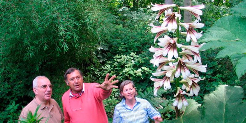 plantas de cardiocrinum giganteum