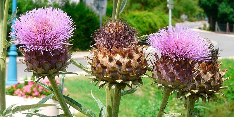 cardo comestible sembrar semillas