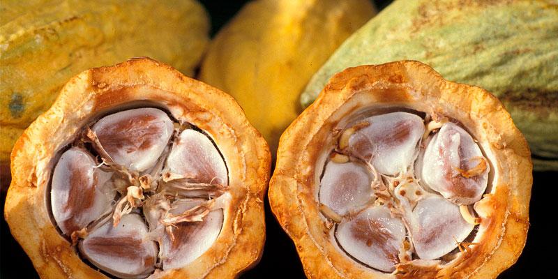 como sembrar semillas de cacao