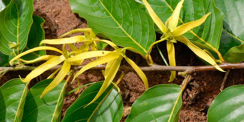 como sembrar semillas de ylang ylang