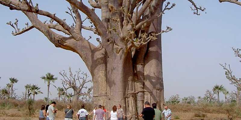 comprar online semillas baobab digitata