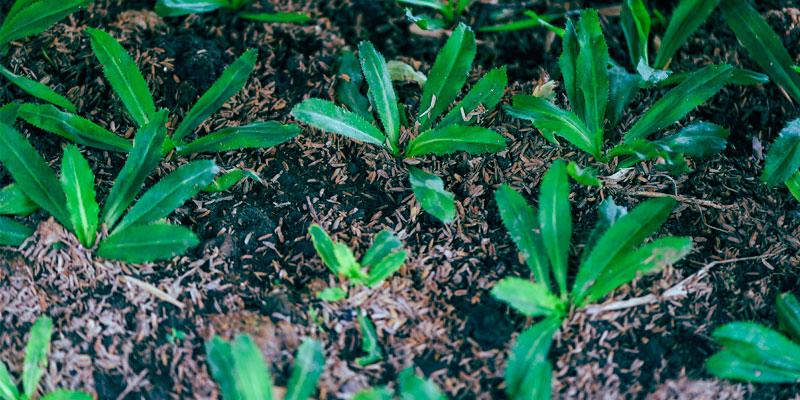 como sembrar semillas de culantro