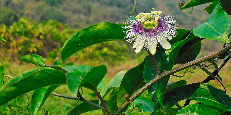 passiflora edulis como sembrar semillas