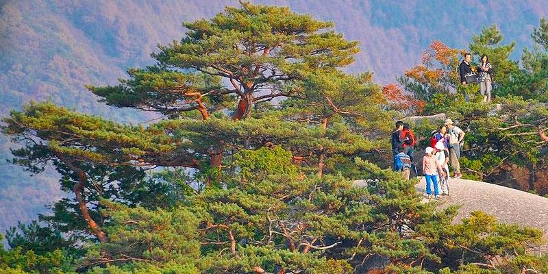 pinus densiflora estratificar semillas