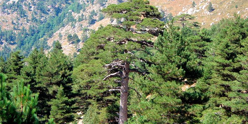 pinus nigra como sembrar semillas
