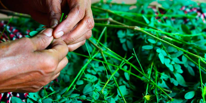 Planta moringa oleifera comprar