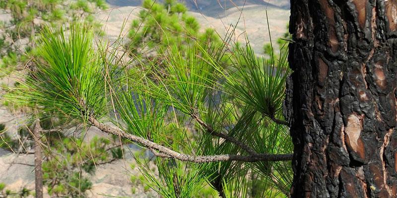 sembrar pino canario