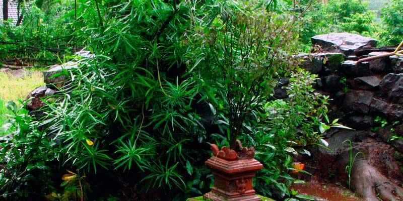 semillas de tulsi albahaca sagrada