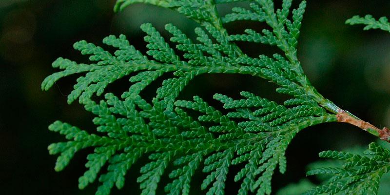 thuja orientalis como sembrar semillas